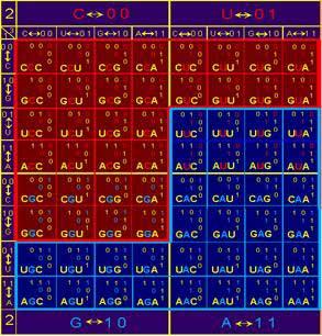 4 азотистых основания, комбинируясь в триплеты ДНК образуют восьмеричную матрицу из 64 возможных состояний, в которых, та часть, которая обозначена на рисунке красным цветом, кодирует только одну аминокислоту, а обозначенная синим – две.
