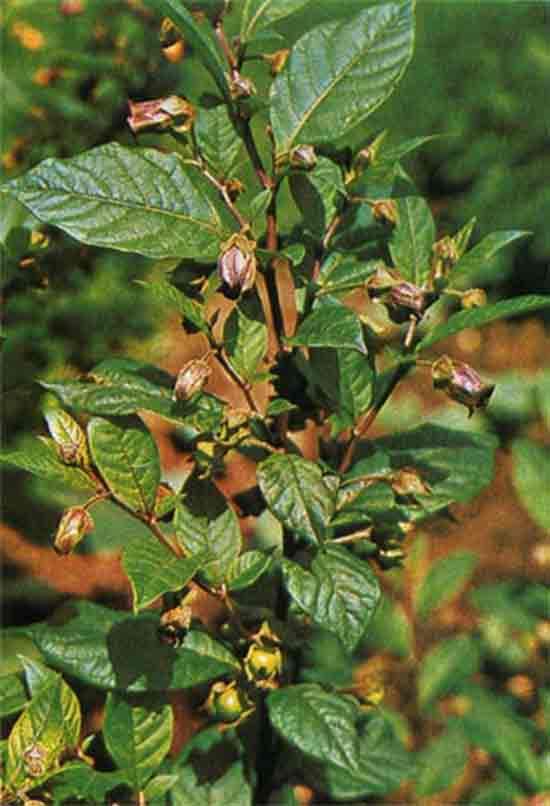 Красавка обыкновенная - Atropa belladonna L. Синонимы белладонна