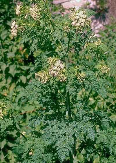 Болиголов крапчатый (сильно ядовитое растение).  Русские названия: Болиголов пятнистый, болиголов крапчатый...